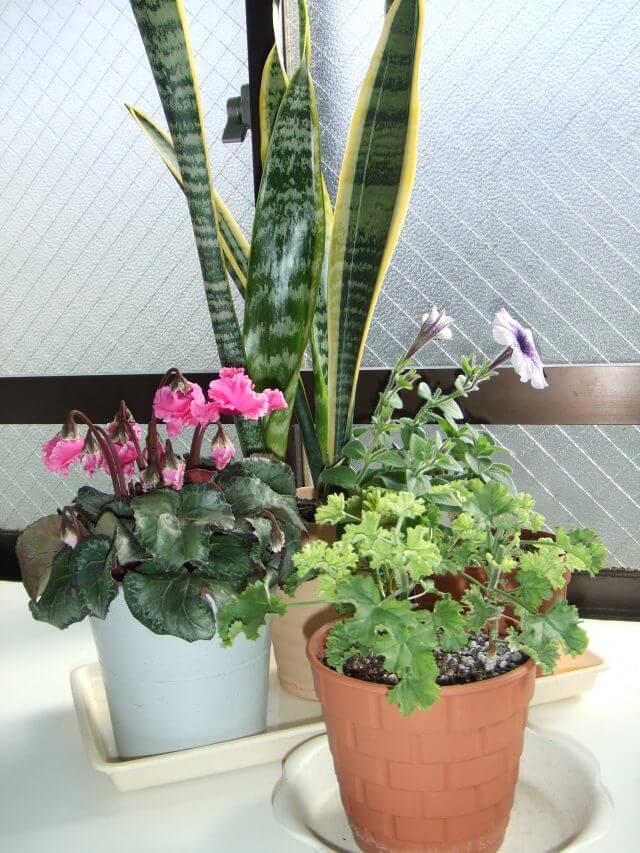 サンスベリアの花が咲くのは珍しく、これは実際に花が咲く前のサンスベリアの鉢植えの状態の写真