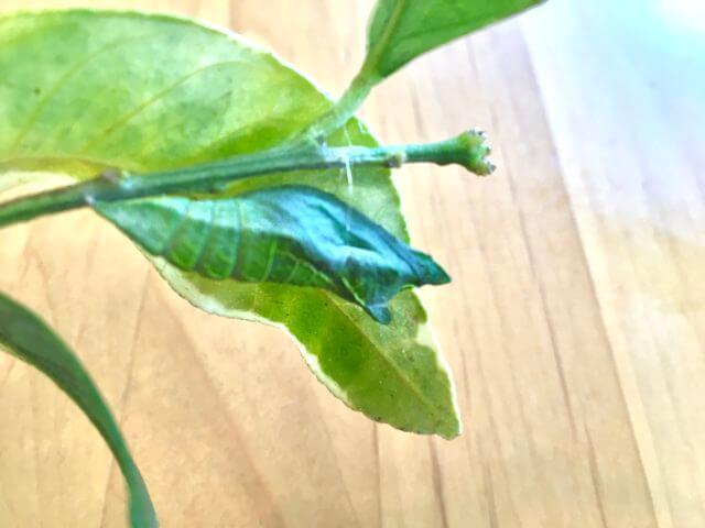 レモンの木につく虫、アゲハチョウのサナギ